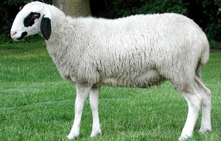 Adak Koyun Fiyatları
